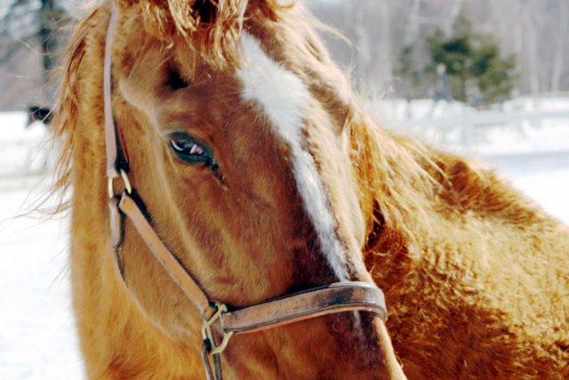 Voici Be My Guess, un vénérable cheval sauteur... (Gaston Déry)