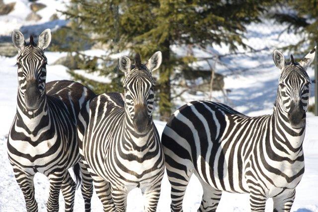 Enfilez vos salopettes, on part en safari sous la neige. Zèbres, tigres,... (Photo: fournie par le Zoo de Granby)