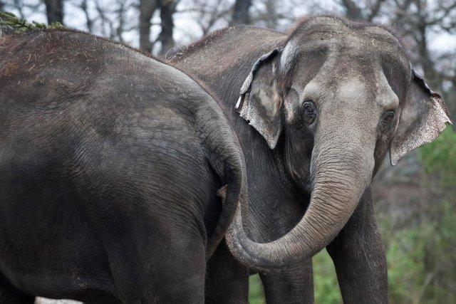 Le plus gros animal terrestre passe difficilement les frontières incognito.... (Photo AFP)