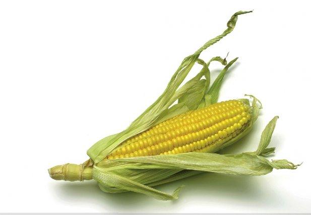 Les AmiEs de la Terre de l'Estrie demandent aux autorités d'interdire le maïs...
