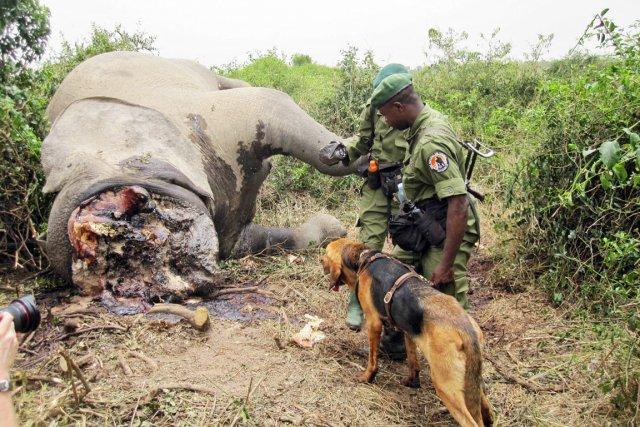La population d'éléphants du parc national de Bouba... (Photo: Archives AFP)