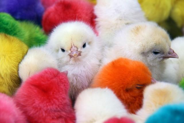 Des poussins teints pour Pâques et vendus en... (PHOTO AFP)