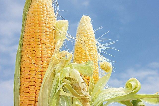 Contrairement au Québec et au Canada, le maïs... (Photothèque Le Soleil)