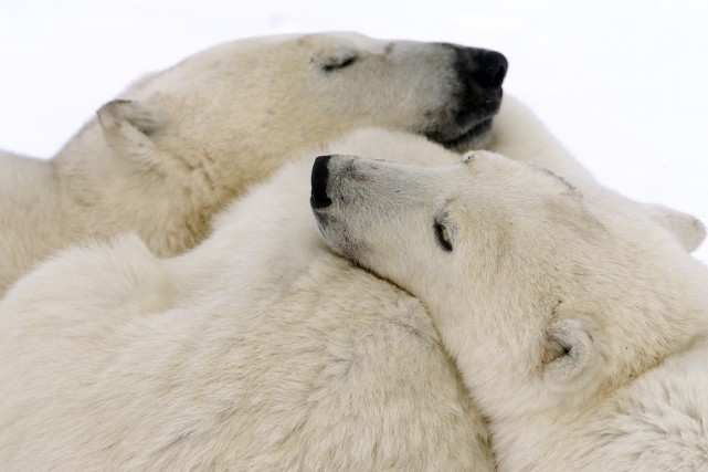 Des ours polaires... (Photo Bernard Brault, archives La Presse)