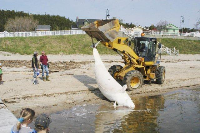 Un béluga mort est recueilli dans la baie... (Photo fournie par le Groupe de recherche et d'éducation sur les mammifères marins)