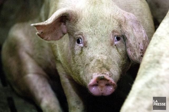 Le premier cas d'un virus porcin mortel ayant tué des millions de porcelets aux... (PHOTO : HUGO-SÉBASTIEN AUBERT, LA PRESSE)