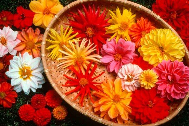 le dahlia : une annuelle classique toujours appréciée   larry