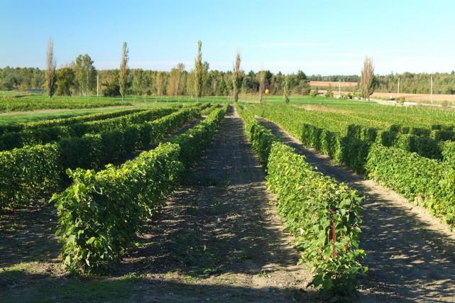Le vignoble de L'Orpailleur... (Photo fournie par l'Orpailleur)