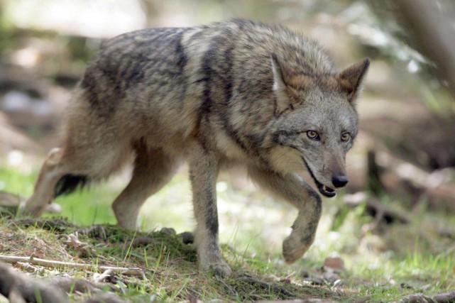 Un coyote a attaqué et mordu un promeneur à Petite-Vallée, en Gaspésie, alors... (Photo : Tim Krochak, archives PC)