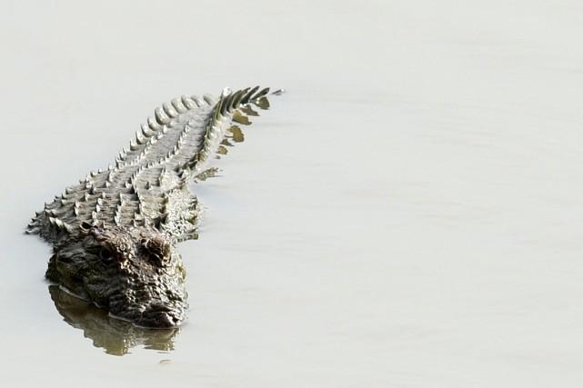 Un golfeur a été mordu à la jambe par un crocodile lundi alors qu'il jouait... (Photo archives Agence France-Presse)