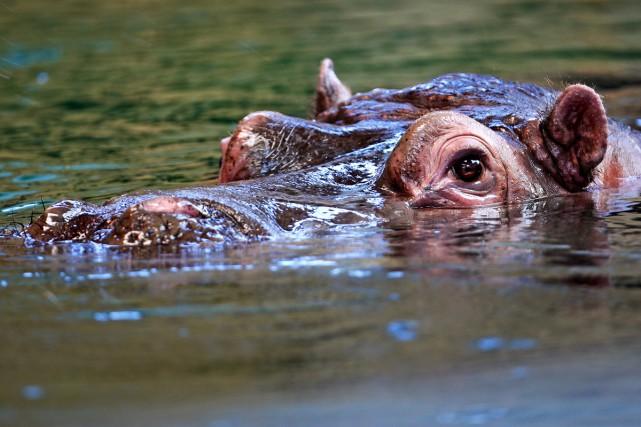 Un hippopotame....