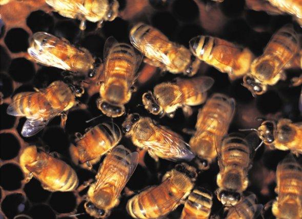 Partout sur la planète, les abeilles sont confrontées... (Archives)