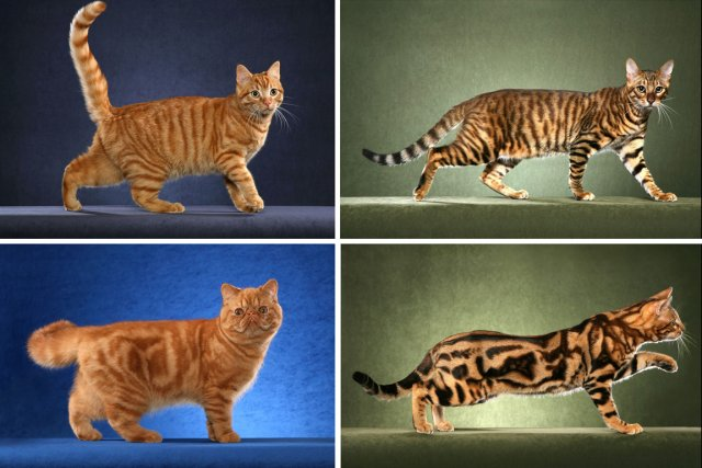 Big Cats With Stripe Pattern