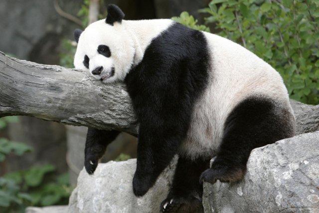 Un Panda Géant Star De Téléréalité Quitte Les écrans