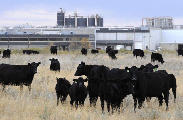 Ferme derrière une usine de XL Foods en... (Photo: Larry MacDougal, PC)