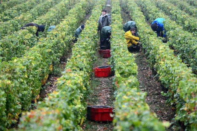 La France, premier producteur mondial de vin, devrait enregistrer en 2013 une... (Photo Philippe Desmazes, Agence France-Presse)
