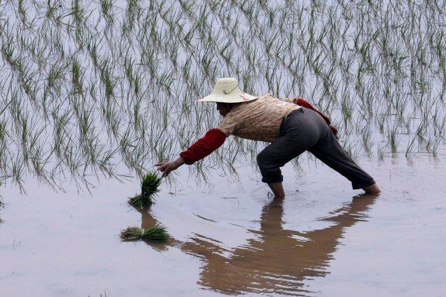 Un fermier chinois dans une rizière, à l'est... (Photo Reuters)