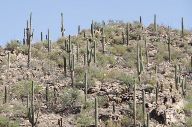 Un paysage rempli de saguaros: l'image idéalisée du... (Photo www.jardinierparesseux.com)