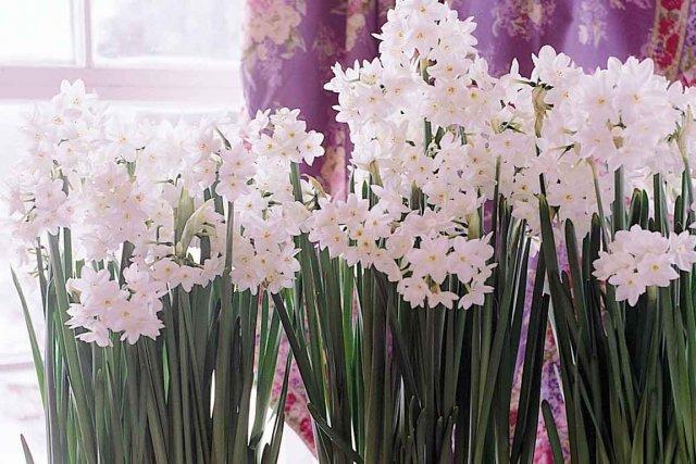 De nos jours, on voit rarement le Narcissus... (NFBIC)