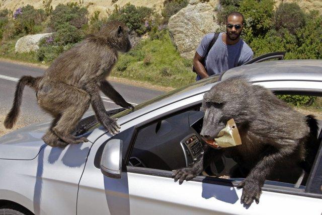 Des babouins descendent régulièrement des montagnes entourant le... (Photo: AP)
