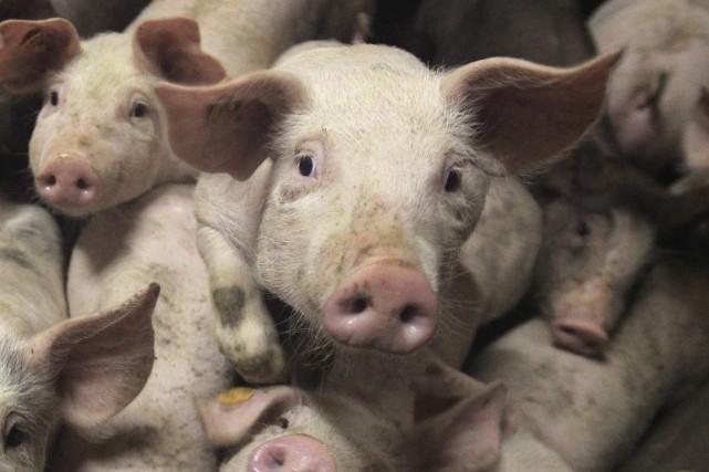 Les porcs pourraient constituer un vecteur insoupçonné du virus Ebola, suggère... (Photo Reuters)