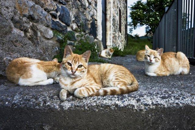 De trois à quatre millions de chats en Amérique du Nord (soit entre 2 à 3% de... (Photo d'archives)