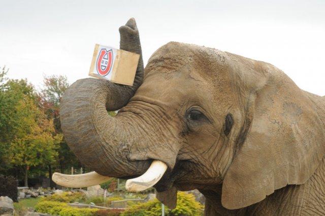 L'éléphante Toutoune photographiée en août 2010.... (photo Janick Marois, archives La Voix de l'Est)
