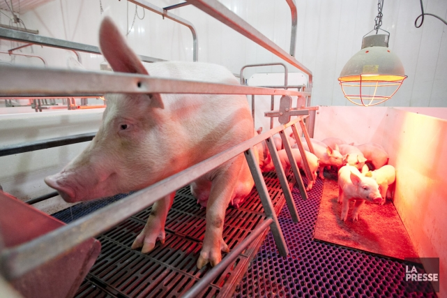 La production porcine québécoise obtient de bonnes notes... (PHOTO HUGO-SÉBASTIEN AUBERT, ARCHIVES LA PRESSE)