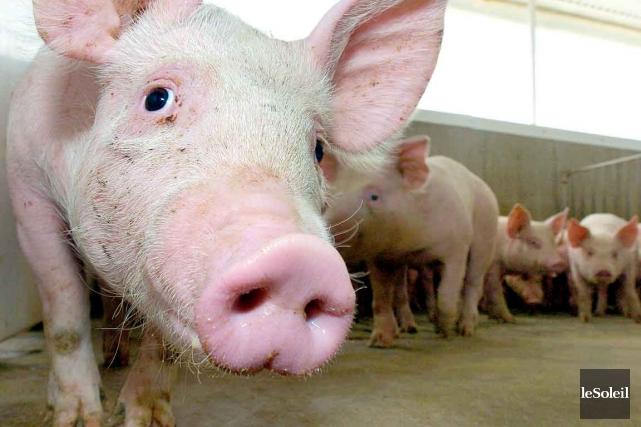 Des cas du virus porcin ont été confirmés... (Photothèque Le Soleil, Erick Labbé)
