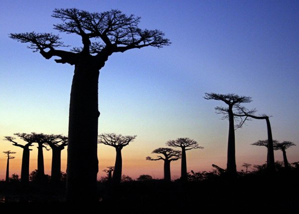 18 with 01 4598220 Madagascar La Fameuse Allee Des Baobabs Endommagee Par Un Incendie on India Map With Symbols also The Most Beautiful And Famous Trees On Earth moreover Kenya further Anthony Kiedis Haidi Thunderbird Native American Back Tattoo moreover Himalayan Maidenhair Fern.