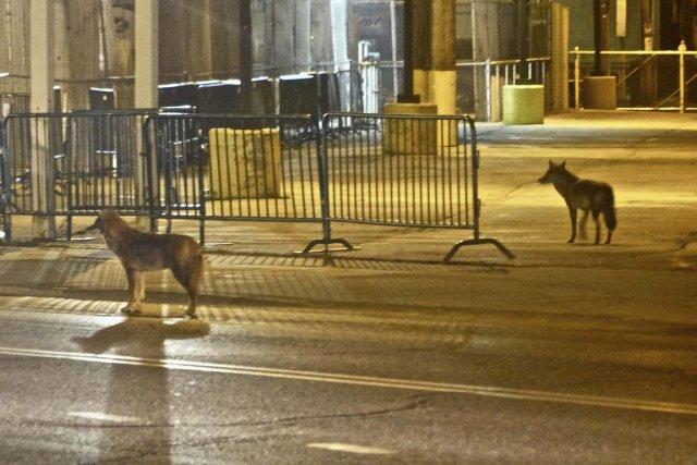 On ne s'attend pas à voir deux coyotes tout près du Wrigley Field, le stade... (Photo AP)