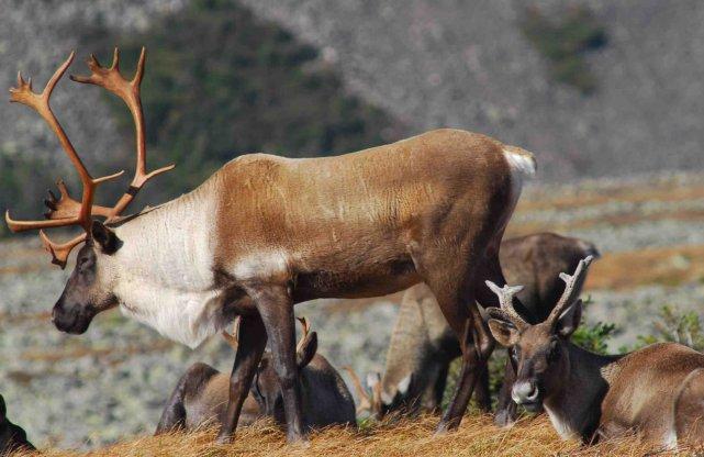 Le plan de rétablissement du caribou forestier au... (Photothèque La Presse)