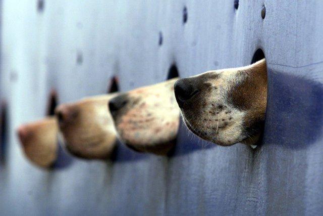 L'utilisation de chiens pour la recherche scientifique est... (PHOTO DAN CHUNG MORPETH, REUTERS)