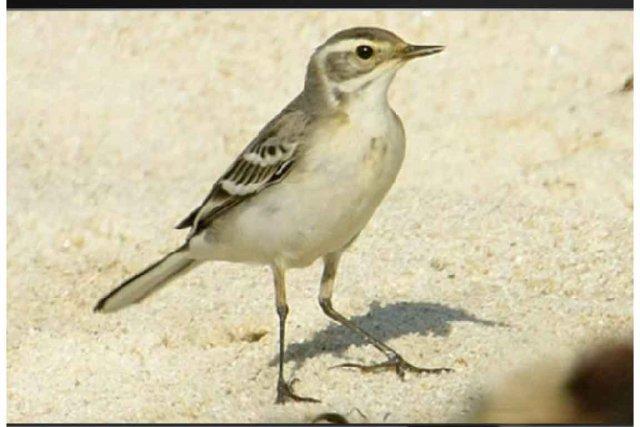Voilà l'oiseau qui a fait courir  les... (Photo tirée du site www.globaltv.com)