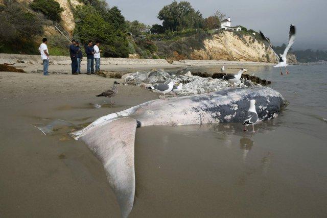 La carcasse de la baleine fait 12 m... (PHOTO LUCY NICHOLSON, REUTERS)