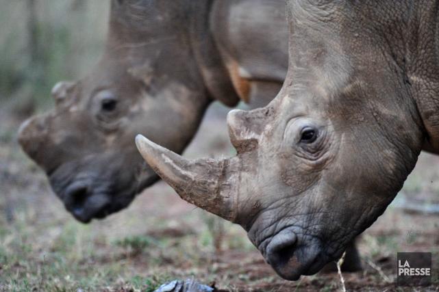 La chasse illégale des rhinocéros d'Afrique du Sud... (PHOTO ALEXANDER JOE, AFP)