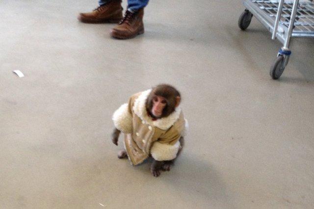 Le singe Darwin a été découvert vêtu d'un... (Photo: PC)