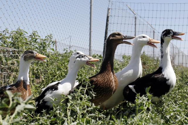 Un virus de grippe aviaire, plus virulent et jamais identifié auparavant en... (PHOTO KIMIHIRO HOSHINO, AFP)
