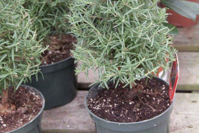 Une autre création horticole de Noël: le romarin-sapin... (Photo www.jardinierparesseux.com)