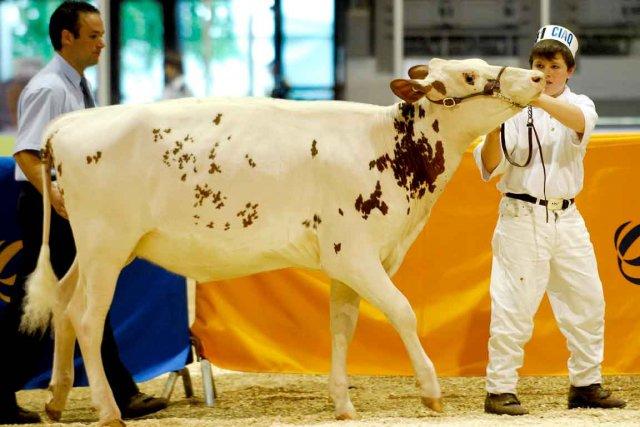 Le concours provincial de jugement d'animaux qui se... (Photothèque Le Soleil, Patrice Laroche)