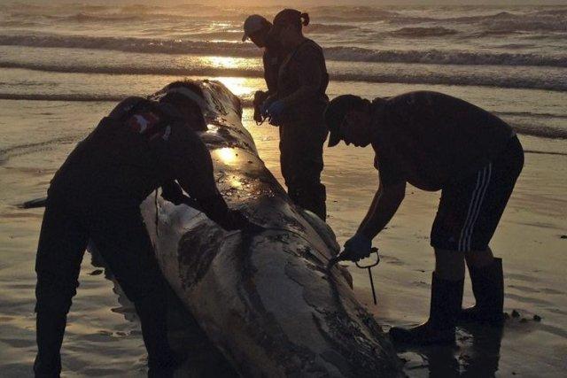 Sur notre photo, une baleine échouée au Texas... (Photo AP)