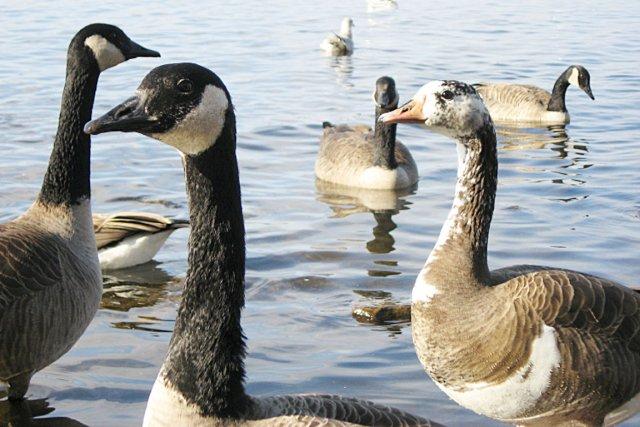 Le même type d'oiseaux hybrides que ceux observés... (PHOTO MARIE-CHRISTINE CADIEUX (HYBRIDE))