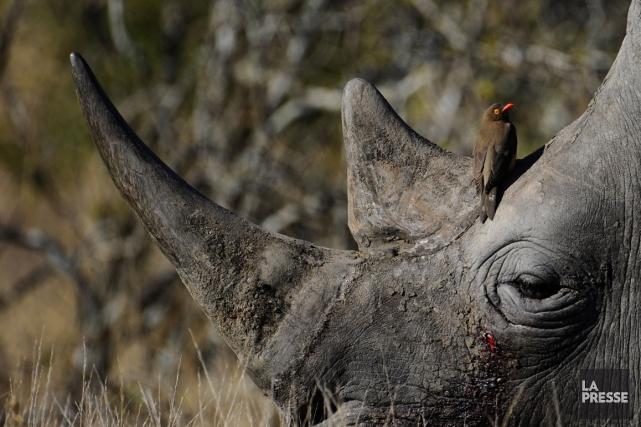 L'Afrique du Sud abrite près de 80% des... (Photo AFP)