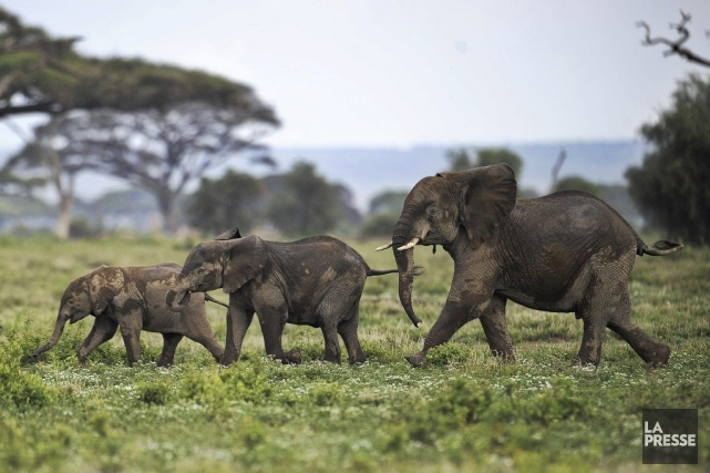 Des éléphants kenyans.... (Photo TONY KARUMBA, AFP)