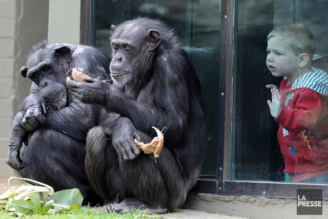 Des chimpanzés dans un zoo, à Sydney.... (Photo: archives AFP)