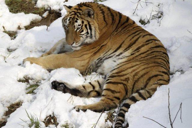 Un tigre dans un zoo chinois.... (Photo AFP)