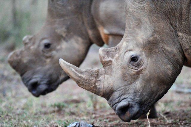 En 2012, 745 rhinocéros ont été tués par... (PHOTO ALEXANDER JOE, AFP)