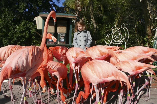 Les flamants roses du Sarasota Jungle Gardens.... (Photo: Marie-Claude Malboeuf, La Presse)
