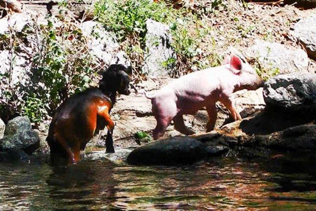 Une vidéo de 30 secondes montrant un cochon sauver un chevreau de la noyade... (IMAGE COMEDY CENTRAL)