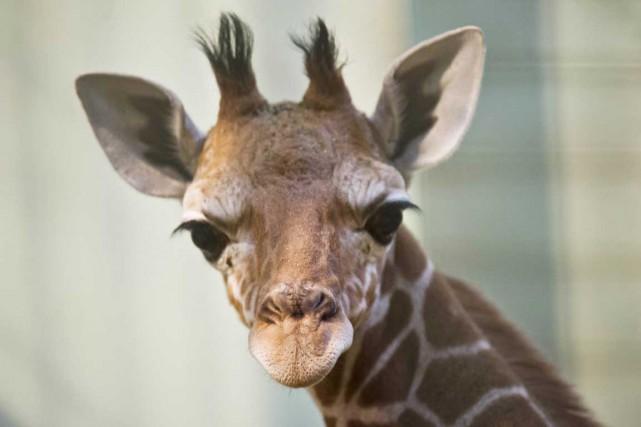 Généralement considérée comme muette, la girafe émet en réalité un bruit,... (PHOTO NICOLAS ARMER, ARCHIVES AFP)